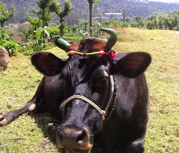 Vache sacrée, Inde